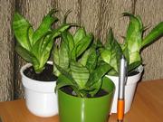 Комнатные растения на офисный стол по 800.